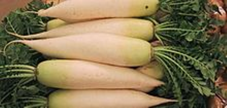 daikon pic for web